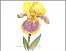 Iris -Supreme Sultan- Carolyne Roehm
