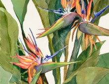 Bird of Paradise- The Glory of The Tropics