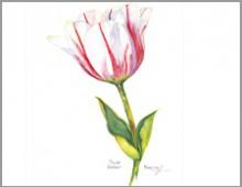 Sorbet Tulip  Carolyne Roehm
