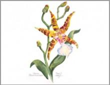 Tiger Orchid, Odontoglossom
