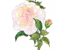 THE PERFECT ROSE- CAROLYNE ROEHM